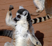fist punch lemur 01