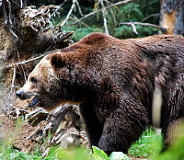 grizzly bear forest 01